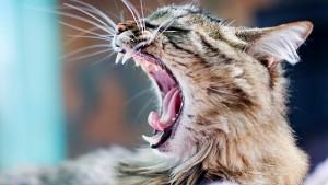 Ушные клещи у кошек