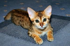 Выбор и приобретение котенка