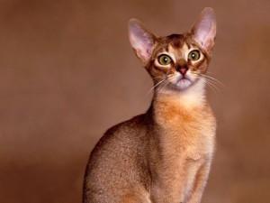 Абиссинская кошка - воплощение мечты