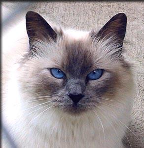 Балинезы, балийские кошки