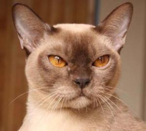 Бурмезская кошка