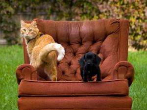 Что нужно знать, выбирая кошку для разведения и выставок