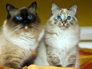 Голубоглазые кошки - голубые брызги фелинологии