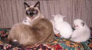 Имена для тайских кошек