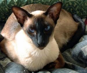 История Традиционной Сиамской Кошки