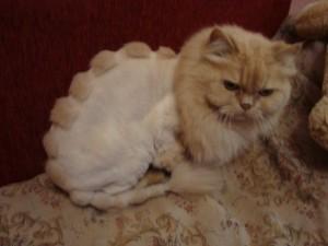 Как подстричь кошку дома