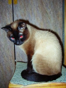 Как понимать сиамскую кошку