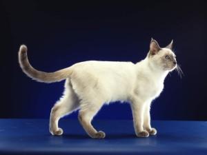 Как ухаживать за тайскими кошками