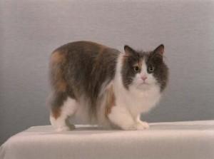 Кимрская кошка