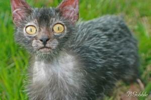 Лайкой. Кошки-оборотни