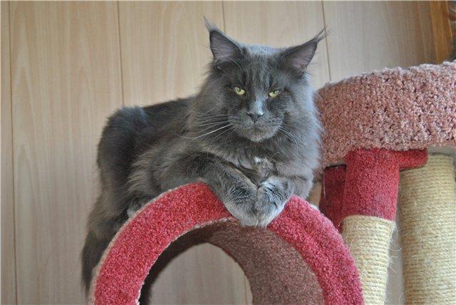 Кот мейн кун описание породы