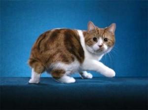 Мэнская бесхвостая кошка