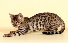 О редких породах кошек