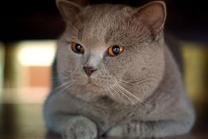 Особенности британской кошки