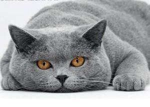 Особенности поведения британских кошек