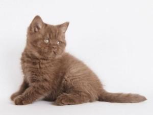 От чего зависит стоимость котенка британской породы