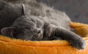 Про сон кошки
