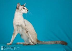 Сиамские кошки французский взгляд