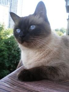 Старотипные сиамские кошки в Америке
