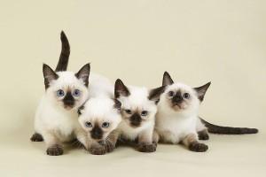 Тайские кошки и их тайны