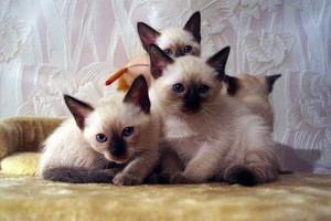 Тайские кошки - кошки интеллектуалы
