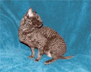 Уральские кошки с каракулевой шерстью