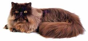 Персидская кошка-стандарт персов
