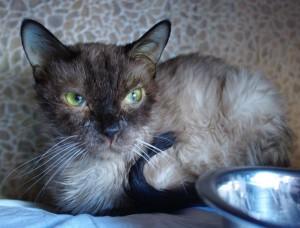 Признаки чумки у кошек