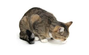 Рвота у кошки - причины