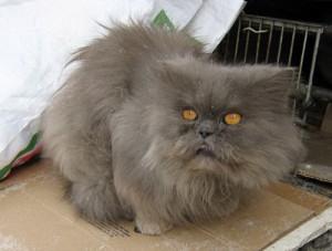 Дымчато-шоколадная персидская кошка