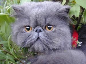 Голубая персидская кошка
