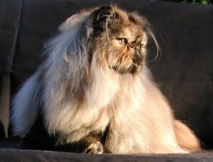 Из истории разведения персидских кошек