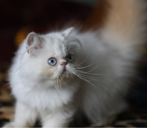 Кормление котенка персидской кошки