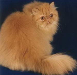 Кормление стареющих кошек персов