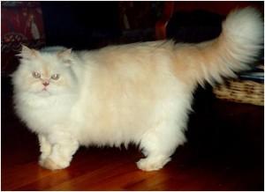 Кремовый персидский кот с оранжевыми глазами
