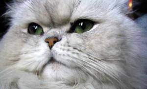 Персидская кошка окраса шиншилла