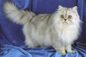 Персидская кошка оловянного окраса