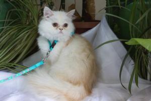 Персидская кошка цвета красный камео