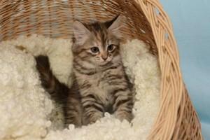 Выбор и воспитание котенка сибирской породы