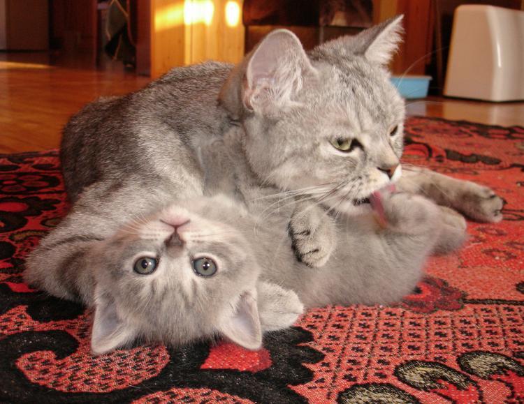 Как приучить котенка есть с миски