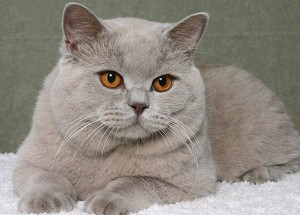 Сколько живут британские кошки