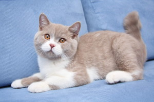 Биколорный окрас кошек