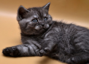 Как назвать кошку британскую