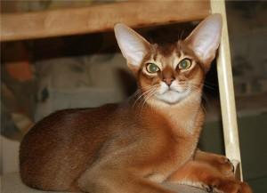 Крапивница у кошек , симпотомы , лечение