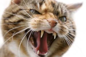О чем говорит кошачья агрессия