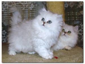Персидские кошки характер и воспитание