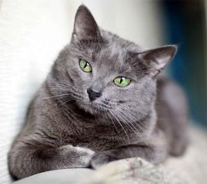 Разрыв диафрагмы у кошки