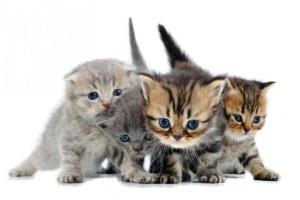 Здоровый котенок должен быть подвижным и любознательным