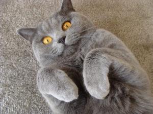 купить Ипакитине для кошек